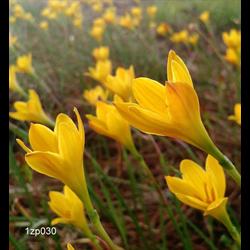 Zephyranthes citrina (25 bulbs per pkg - Ships March thru June)