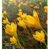 Additional images for Zephyranthes citrina (25 bulbs per pkg - Ships March thru June)