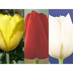 Tulip Triumph Collection (60 bulbs per collection - Ships Oct thru J