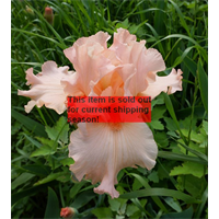 *SOLD OUT* Bearded Iris Pink (5 plants per pkg - Ships Oct thru Jan)