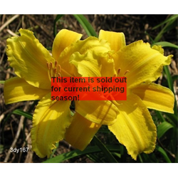 *SOLD OUT* Daylily Mary Todd (5 plants per pkg - Ships Oct thru June)