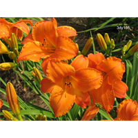 Daylily Mauna Loa (5 plants per pkg - Ships Oct thru June)