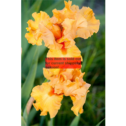 *SOLD OUT* Bearded Iris Orange (5 plants per pkg - Ships Oct thru Jan)