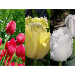 Tulip Fringed Collection (60 bulbs per collection - Ships Oct thru Ja