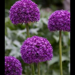 Allium Ambassador (3 bulbs per pkg - ships Oct thru Jan)