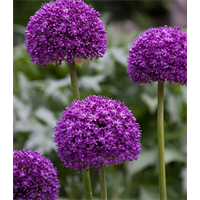 Allium Ambassador (3 bulbs per pkg - ships Oct thru Jan)