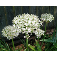 Allium multibulbosum (nigrum - 10 bulbs per pkg - ships Oct thru Jan)