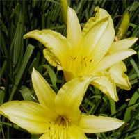 Daylily bulk Yellow (½ BU - Ships Oct thru June)