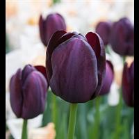 Tulip Single Late Queen of Night (10 bulbs per pkg - Ships