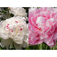 Peony Clump Box Set (Ships Oct thru Jan)