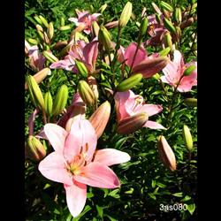Lily bulk Asiatic Pink (½ BU - Ships Oct thru June)
