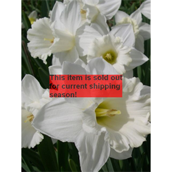 *SOLD OUT* Daffodil Trumpet Mount Hood (10 bulbs per pkg - Ships Oct thru Jan)
