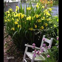 Iris ensata clump 'Rising Sun' (Ships Oct thru June)