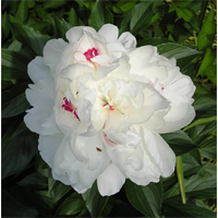Peony Festiva Maxima (3 Plants per pkg - Ships Oct thru Jan)