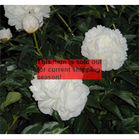 *SOLD OUT*  Peony Shirley Temple (3 bulbs per pkg - Ships Oct thru Jan)