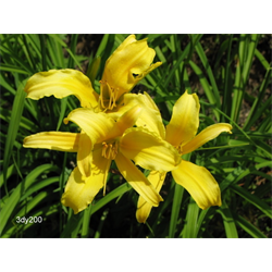 Daylily Hyperion (5 plants per pkg - Ships Oct thru June)