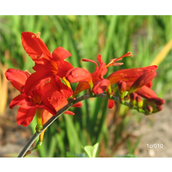 Crocosmia Lucifer (10 bulbs per pkg - Ships march thru June)