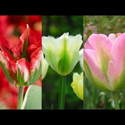 Tulip Viridiflora Collection (60 bulbs per collection - Ships Oct