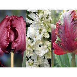 Tulip Parrot Collection (60 bulbs per collection)