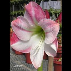 Amaryllis Garden Pink (1 per pkg - Ships March thru June