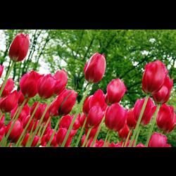Tulip Fringed Burgundy Lace (10 bulbs per pkg - Ships Oct thru Jan)