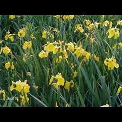 Iris ensata 'Rising Sun' (5 plants per pkg - Ships Oct thru June)