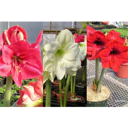 Amaryllis Garden Collection  (6 bulbs per collection - Ships March t