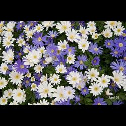 Anemone blanda Mixed (25 bulbs/pkg - Ships Oct thru June)