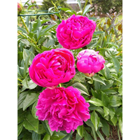 Peony Felix Supreme (3 Plants per pkg - Ships Oct thru Jan)