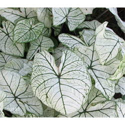 Caladium Candidum Jr. (5 bulbs per pkg - Ships March thru June)