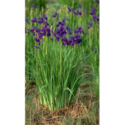 Iris sibirica clump Caesar's Brother (Ships Oct thru June)