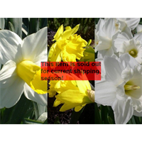 *SOLD OUT* Daffodil Trumpet Collection (60 bulbs per collection - Ships Oct thr