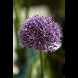 Allium Gladiator (3 bulbs per pkg - ships Oct thru Jan)