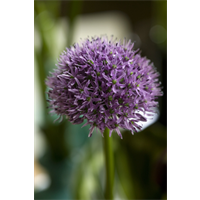 Allium Gladiator (3 bulbs per pkg - ships Oct thru Jan)