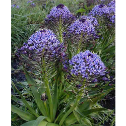 Scilla peruviana (3 bulbs per pkg - Ships Oct thru Jan)