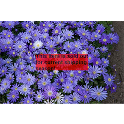 *SOLD OUT* Anemone blanda Blue Shades (25 bulbs/pkg - Ships Oct thru June)