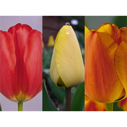 Tulip Darwin Hybrid Collection (60 bulbs per collection - Ships Oct