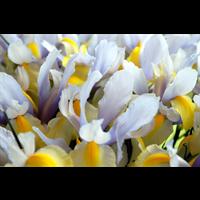 Dutch Iris Symphony (10 bulbs per pkg - Ships Oct thru Jan)