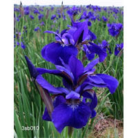 Iris sibirica 'Caesar's Brother' (5 plants per pkg - Ships Oct thru June)