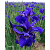 Additional images for Iris sibirica 'Caesar's Brother' (5 plants per pkg - Ships Oct thru June)
